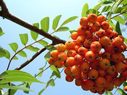"""Die Eberesche (Sorbus aucuparia) oder Vogelbeere ist ein kleiner europaweit verbreiteter Laubbaum. Der Name Eberesche leitet sich vom altdeutschen """"Aber"""" (wie in """"Aberglaube"""") und von """"Esche"""" ab und rührt daher, dass die Blätter jenen der Eschen ähneln, aber dennoch keine nähere Verwandtschaft besteht. Die Ebereschen gehören zu den Kernobstgewächsen, da ihre """"Beeren"""" wie kleine Äpfel aussehen. Die leuchtend roten Früchte sind Nahrung für sehr viele Vögel, Insekten und Säugetiere."""