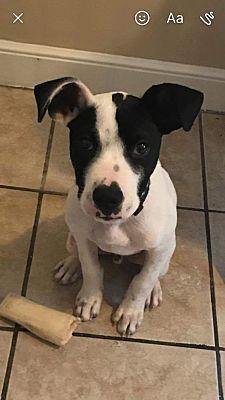 Brattleboro, Vermont - Great Dane. Meet FOSTER, a for adoption. https://www.adoptapet.com/pet/19921226-brattleboro-vermont-great-dane-mix
