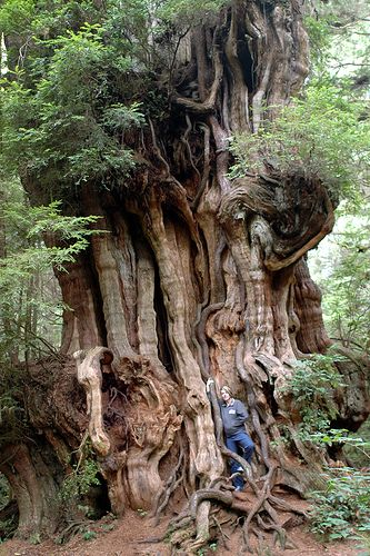 Giant Western Red Cedar Tree near Kalaloch, WA