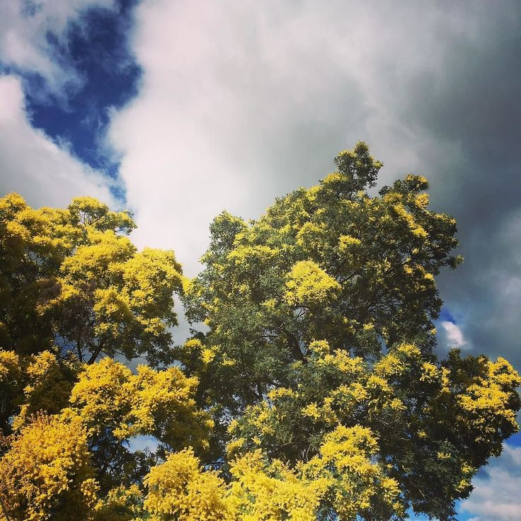 """Stay close to people who feel like sunshine.""   #flower #quote #sunshine #sky #clouds #yellow #tree #sun #blossom #wattle"