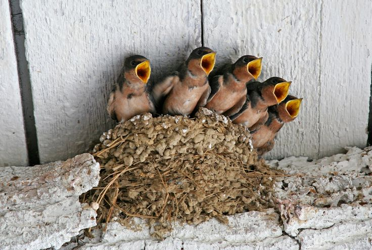 And now, the chorus.: Baby Barns, Beautiful Photo, Natural Beautiful, Birds Nests, Baby Swallows, Feathers, Baby Birds, Animal, Barns Swallows