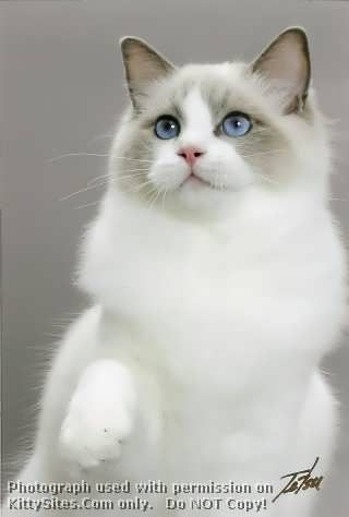 My next ragdoll, I need a pointed and a bicolor : )