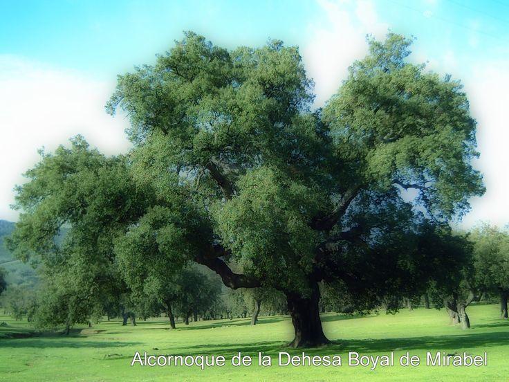Sabes que este alcornoque est declarado rbol singular - Arce arbol espana ...