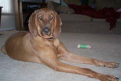 redbone coonhound dog photo   Redbone Coonhound Information and Pictures, Redbone Coonhounds