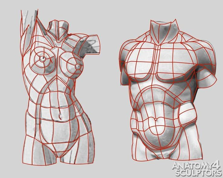 structure of human anatomy, proportions, poses, elements of the human body