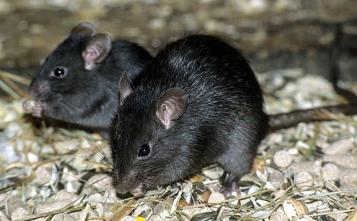 The Black Rat (Rattus rattus) has a slimmer body, shorter tail, and larger ears than the Brown Rat. Once the dominant rat species in Britain and North Sea islands, they have been edged out by the Brown Rat in modern times. These little guys, or their fleas to be specific, were the plague carriers in the Middle Ages. Pretty cute if you ask me--only when they're well groomed and not running over my foot in an alley, that is...
