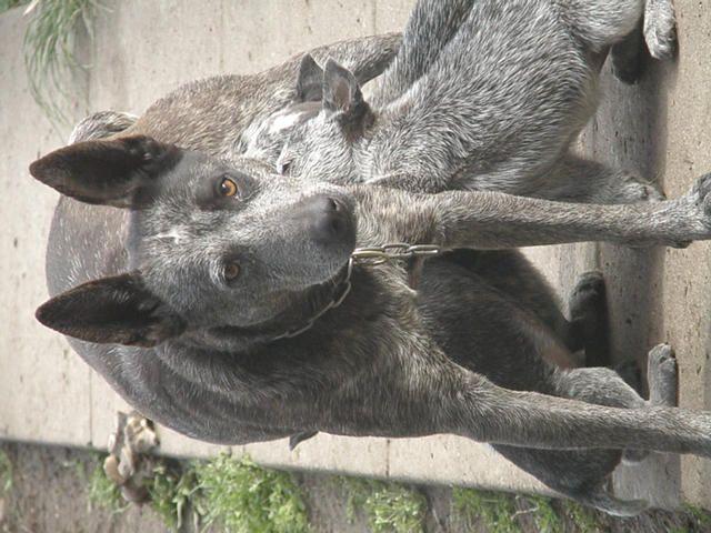Stumpy Tail Australian Cattle Dog   FOR SALE: Australian Stumpy Tail Cattle Dog Puppies