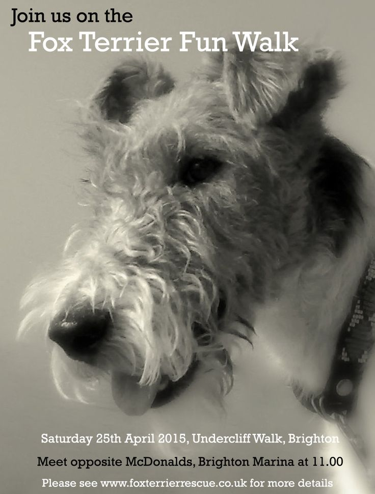 173 best Fox terrier images on Pinterest | Wire fox terriers, Wire ...