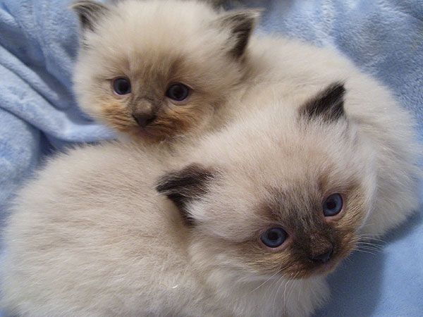 Bluepoint Ragdoll Kittens (sealpoint colour)  My lil sweetie used to be that little now age 14 <3