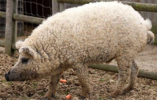This fuzzy pig is real! The rare breed, Mangalitsa, was originally raised for lard. There are three Mangalitsa breeds: Blonde, Swallow-bellied, and Red.