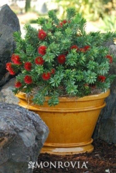 Dwarf Bottlebrush: Baskets Gardens, Dwarfs Bottlebrush, Google Search, Bottle Brushes, Little John, Bottlebrush Httpbitlyhvehwp, Citrinus Little, Callistemon Citrinus,  Flowerpot