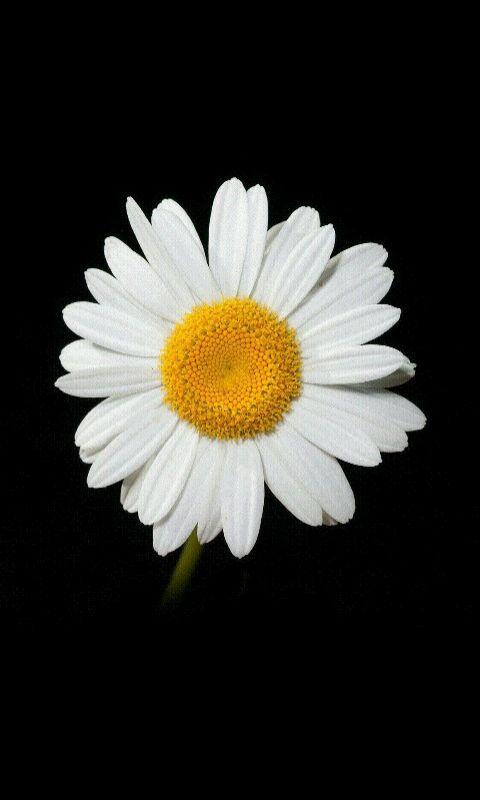 Cúc họa mi, loài hoa nhỏ, mạnh mẽ | Hoa cúc họa mi, Hoa ...