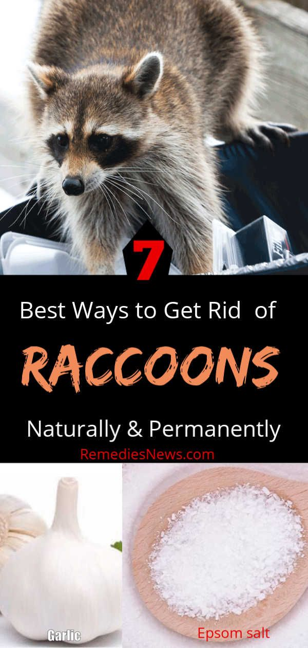 Pin By Antonia Politis On Misc Getting Rid Of Raccoons