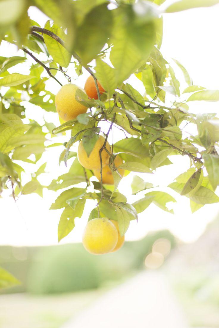 De sinasappelboomjes bij de Oranjerie van Buitenplaats Amerongen