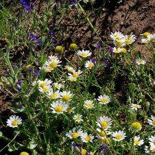 Дикари израильской природы — «А» | malamant  קחוון - Anthemis palaestina (Kotschy) Boiss. - Пупавка палестинская