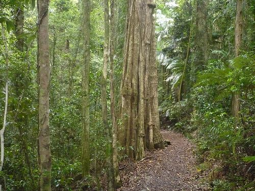 Tropical rainforest walk Mt Glorious, Brisbane, Queensland.