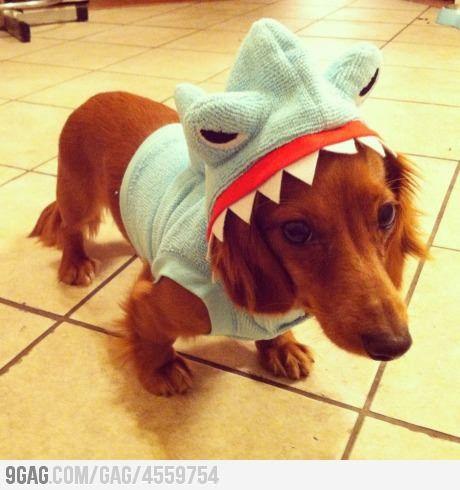 Cute!: Shark Costume, Animals, Dogs, Dachshund, Pet, Puppy, Shark Week, Sharks, Sharkweek