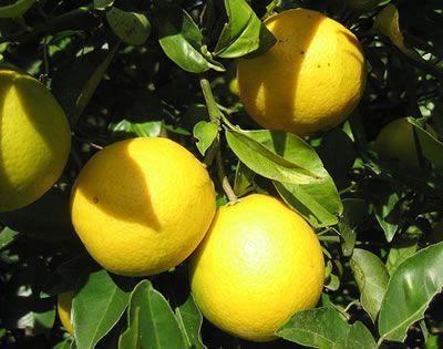 cuidados del limonero 2