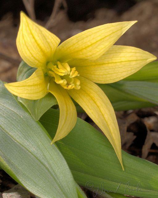 Native Ontario Plants: Uvalaria Grandiflora ON Native
