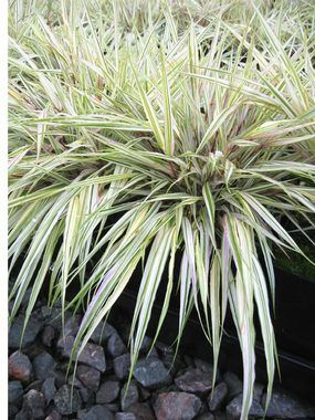 Hakone grasses and forests on pinterest for Japanese ornamental grass varieties