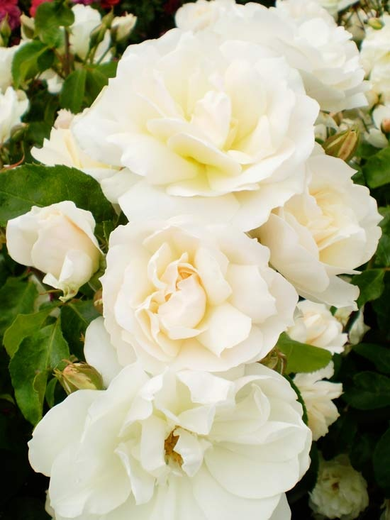 Champagne Wishes Shrub Rose  If you're looking for a little pop in your flower garden, uncork this effervescent rose. Champagne Wishes produces tightly formed apricot buds that open to 3-inch frothy white flowers with loosely packed petals (24-31 petals per flower). It's an easy-care rose, too, that treats you to recurrent blooms all summer.   Size: 3-4 feet tall  Type: Shrub rose