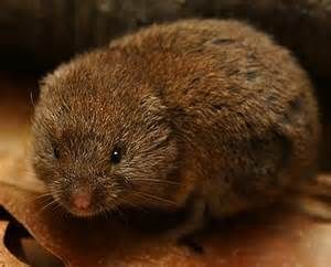 pine vole, images - Bing images