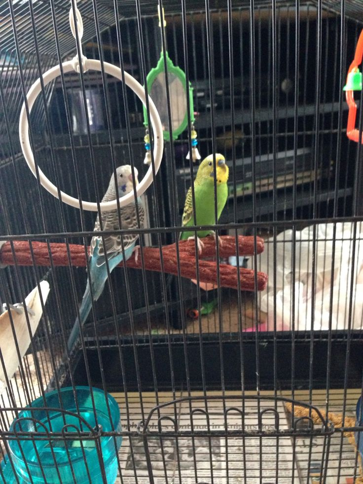 3/14/15  We put Sammy and Amy's birds together. Hopefully they'll get along well.