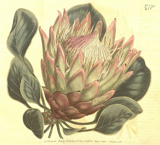 Protea botanical   BioDivLibrary, via Flickr