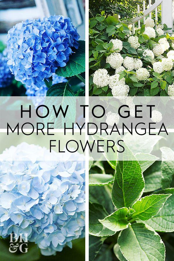 How To Get More Hydrangea Flowers In Your Garden In 2020 Growing Hydrangeas Hydrangea Landscaping Hydrangea Flower