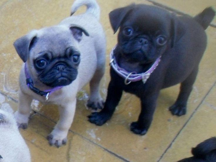 Pug Puppies Pug Puppies Pugs Puppies