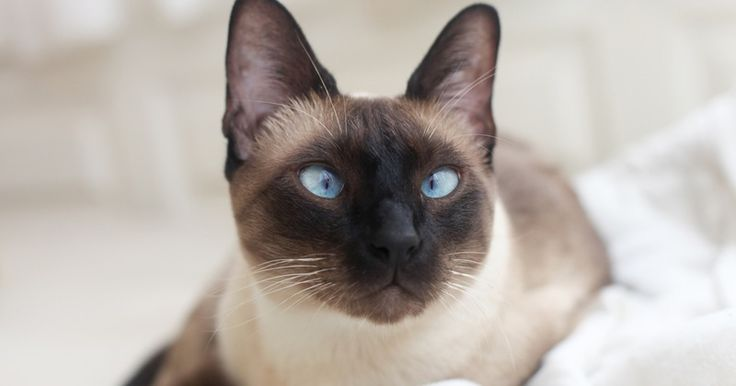 """I got """"Siamese"""" on """"If you were a purebred cat - which breed would you be?"""" What about you?"""