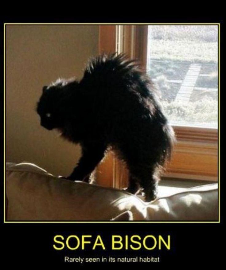 Lol, Sofa Bison – Cats – #Bison #Cats #Lol #sofa
