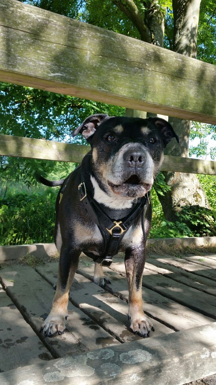 Black and Tan Staffordshire Bull Terrier Hank - 'You shall ...