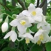 Botanical Name: Styrax benzoin      Main Constituents:   Benzoic Acid: 10 - 12%   Cinnamic Acid: 4 - 7%   Benzyl Cinamate: 2 - 4%   Methyl Cinamate: 10 - 17%   Cinnamyl Cinnamate: 8 - 14%      Plant Part: Resin      Origin: India      Processing Method: Solvent Extraction with benzyl benzoate      Description / Color / Consistency: This resin is a thick brown, viscous liquid.      Aromatic Summary / Note / Strength of Aroma: Benzoin oil has a sweet, warm and vanilla-like aroma that is…