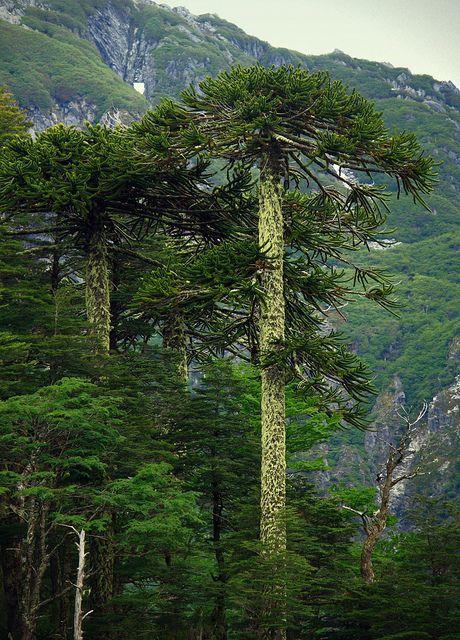 Araucarias | Flickr - Photo Sharing!