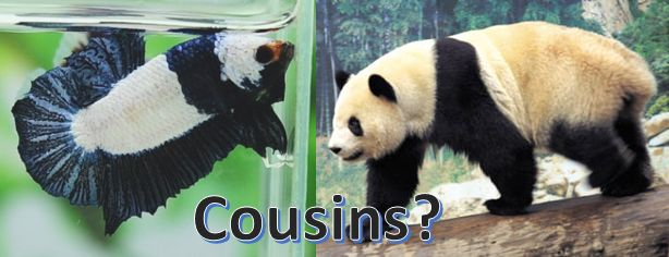 Did you know that #bettafish have a cousin? | Funny Betta