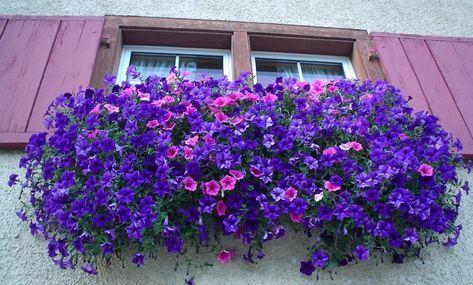 fiori cadenti per balcone