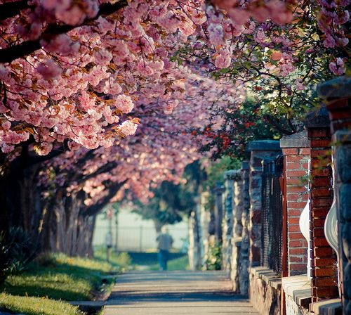 Spring Blossoms in Kaposvar, Hungary.