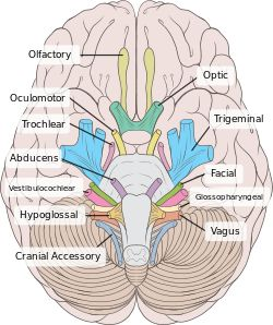 Abducens nerve - ask the docs if this is why my vision is screwy on my AN side