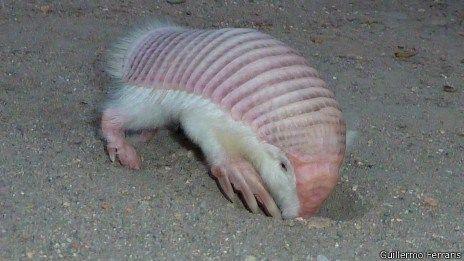 El armadillo de hadas de color rosa ( Chlamyphorus truncatus ) o Pichiciego es el más pequeño las especies de armadillo ( mamíferos de la familia Dasypodida