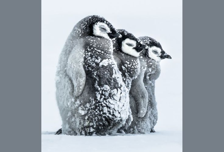 Facing the storm by Gunther Riehle, Germany--Emperor penguin chicks in Antarctica huddle together to shield themselves from the blowing snow