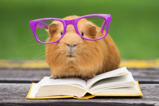 Porquinho da Índia em copos lendo um livro - foto de acervo