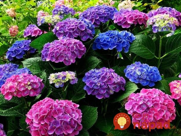Hortenzie sú jedny z mála kvetov, ktoré dokážu meniť svoju farbu. Ako ich farbu zmeniť a získať odtiene, ktoré sa vám najviac páčia?