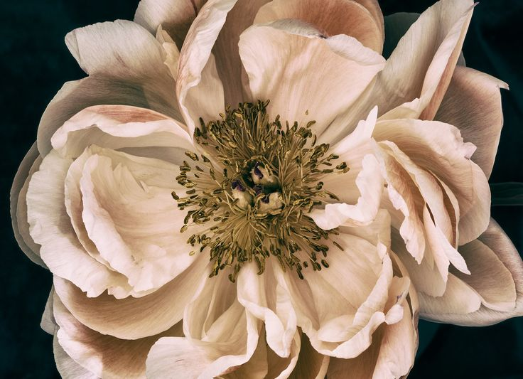 Peony from an arrangment shot on day 6. The perfect artwork to remember a beautiful bouquet. Floragraphica | Modern bouquet preservation with photography