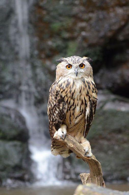 Eagle Owl By.charlie.syme. Flickr.                                                                                                                                                     More