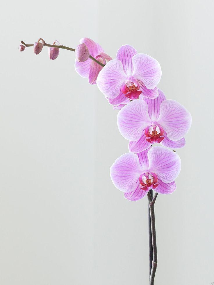 Afbeeldingsresultaat voor watercolor orchid tattoo