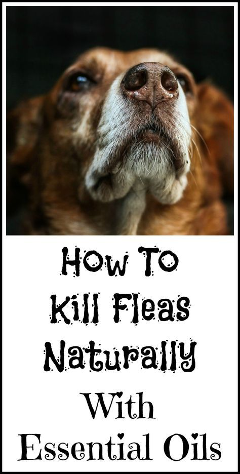 Best 25 Killing Fleas Ideas On Pinterest Flea Treatment