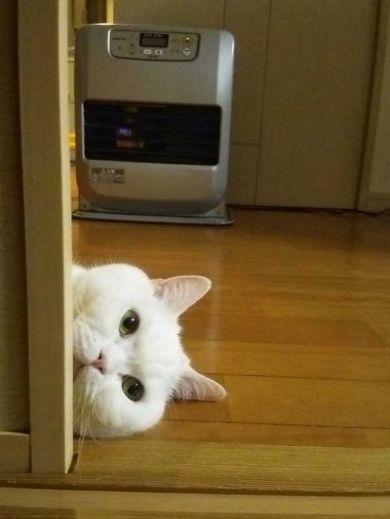 pinterest // saratrausta  #whitecat