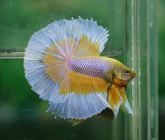 17 best images about fighting fish on pinterest auction for Butterfly betta fish