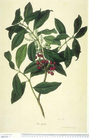 Nestegis Apetala -- New Zealand  -  Curtis's bot. Mag. 49: t. 2350 [1822].  The Endeavour botanical illustrations - artist Sydney Parkinson